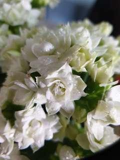Succulent-Kalanchoe white flowers