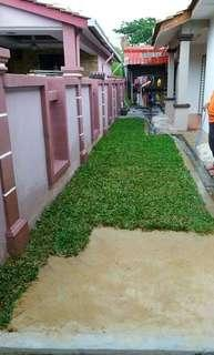 rumput murah siap tanam