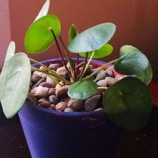 Unique Pilea peperomioides in a clay planter