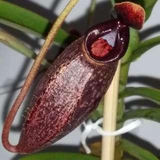A pot of Highland Nepenthes Spectabilis x aristolochioides RARE !!