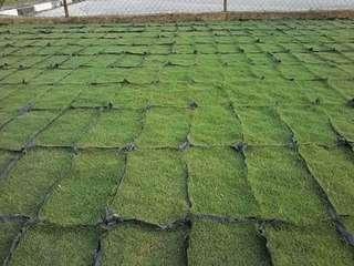 rumput murah rm1. 50sen