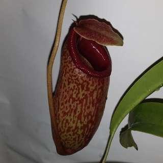 A pot of Highland Nepenthes aristolochioides x ventricosa RARE !!