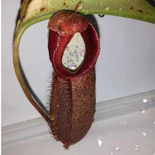 A pot of Highland Densiflora x robcantleyi RARE !!