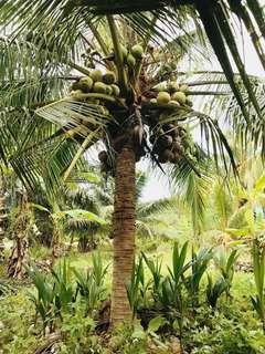 Pandan Coconut Tree / Kelapa Pandan #APR10