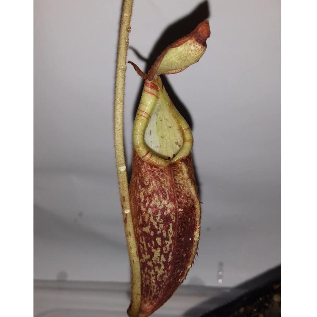 A pot of Highland Nepenthes spectabilis RARE !!