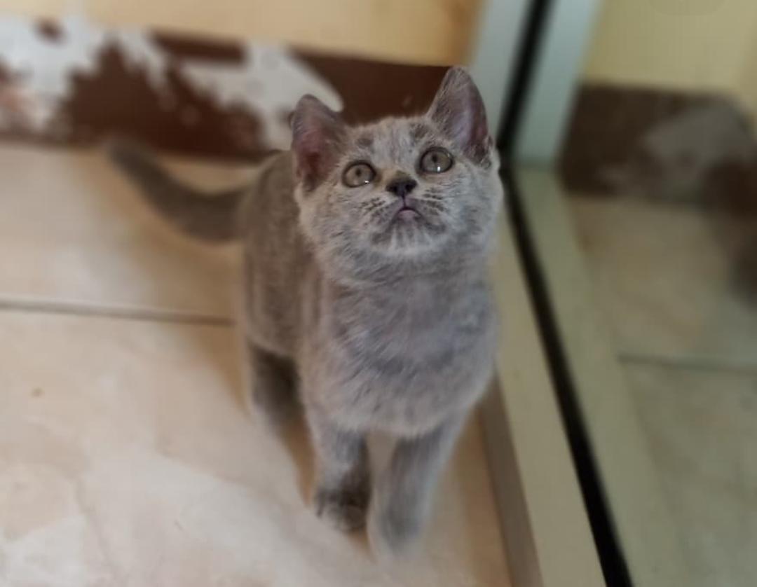 Jual Kucing British Short Hair Betina 2 5 Bulan Murah Bekasi Perlengkapan Hewan Makanan Hewan Di Carousell