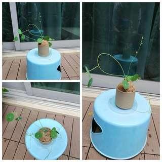 Stephania erecta Table top