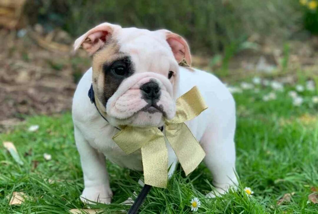 KC English Bulldog Puppy