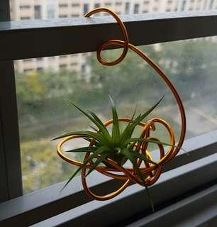 Tillandsia Ionantha pup with a flexible support holder