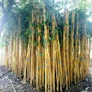 Bambu Kuning Taman Tuk Sisi Tembok Dan Pagar