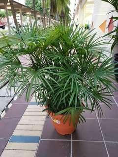 🚚 Rhapis palm