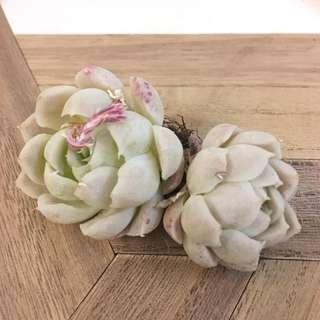 Lovely Twin head Succulent