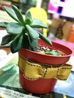 🚚 🌵多肉植物🌵冬美人 文青小盆栽(需自行取貨)