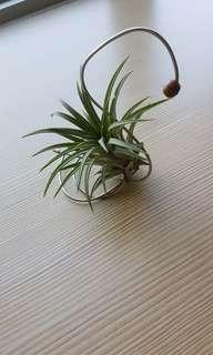 Air Plant Tillandsia Ionantha with stainless steel support