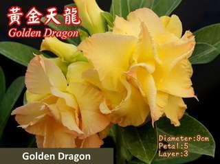 Golden Dragon Adenium/Desert Rose/富贵花