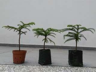 Norfolk Island Pine Seedlings Bonsai Christmas Tree