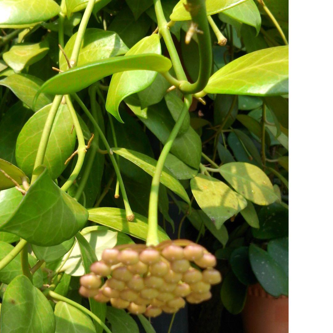 Hoya Obscura Plant New Stock Gardening Plants On Carousell