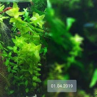 Aquatic Plants Bacopa Caroliniana !! NOW SUPER SALES (15 to 25cm, 8 STEMS $7) (UNCOMMON) No Snail, No Fertilizing, No Chemical Tank, SAFE  FOR  YOUR  SHRIMPS, HEALTHY N ROBUST (LAST BUNCH)