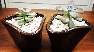 A set of two succulent Graptopetalum Paraguayense 'Ghost Plant'.