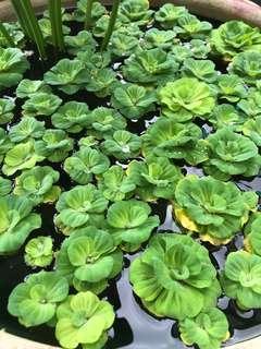 Water lettuce/floating plants