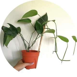 🚚 Epipremnum pinnatum (Dragon-Tail plant)
