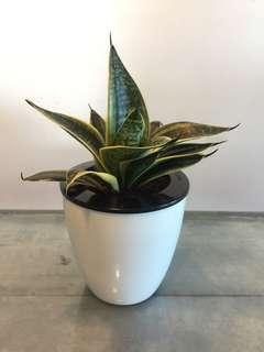 Snake Plant (Dwarf)in Small Self Watering Pot#3