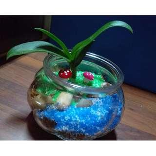 Baby Moth Orchid In Glass Terrarium Set For Sales @$15 Per Set