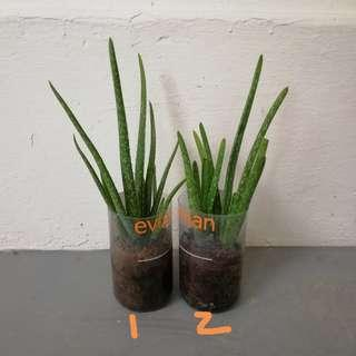 Aloe Vera plant Batch No. 4 - Young (2 stalks in each container) home grown