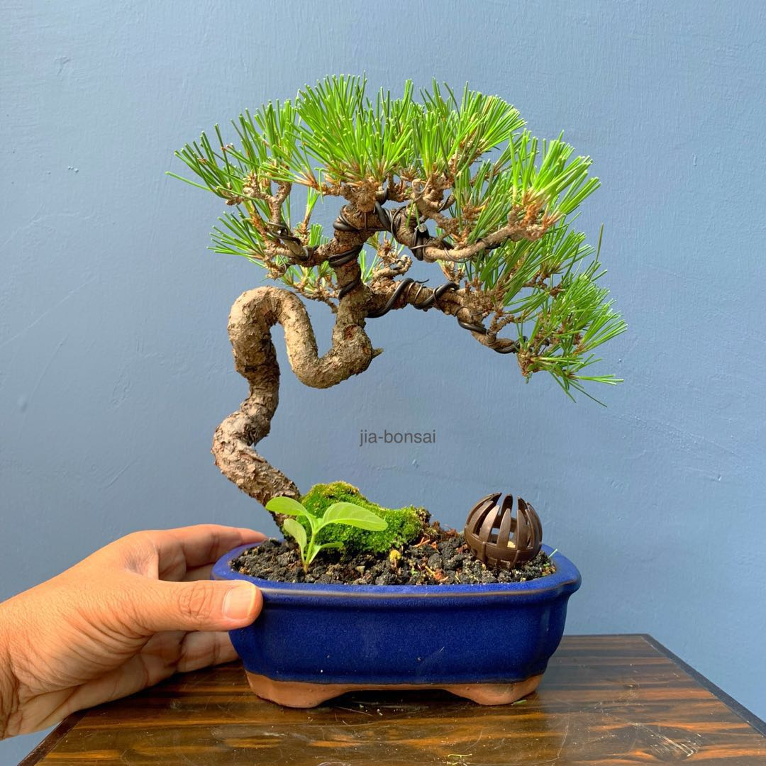 SALE Japanese Black Pine Bonsai, Gardening, Plants on Carousell