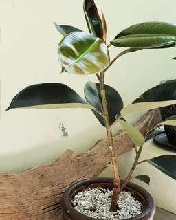 Ficus elastica or rubber plant