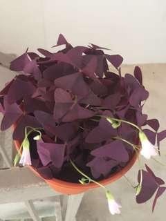 Oxalis triangularis/love plant