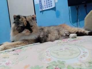 Kucing persia peaknose Calico