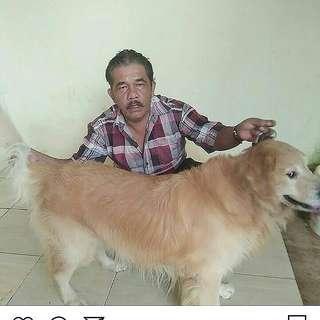 pejantan anjing golden retriver