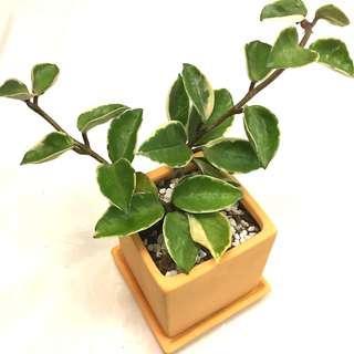 Plant - Hoya