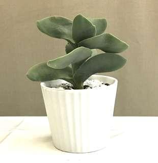 Succulent Crassula Falcata Propeller Plant
