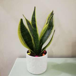 Air Purifying plant - Sansevieria / Snake plant (Night produce oxygen) (Suitable for office, house, indoor, as a gift)