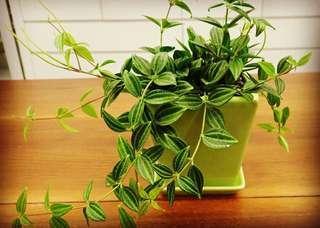 Houseplant Peperomia Fosteri (Tetragona).