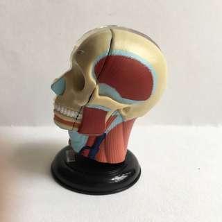 人體解剖圖鑑頭部構造模型B