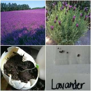 Lavander seeds