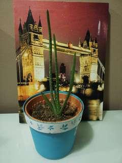 Aloe Vera Plant #GayaRaya