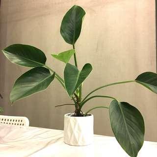 Plant - Philodendron Congo