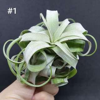 Airplant Streptophylla #1 #2 #3
