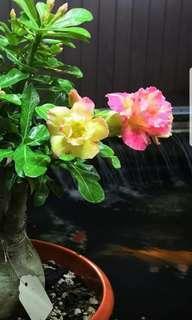 Chameleon变色龙 Adenium/Desert Rose/ 富贵花