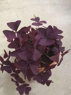 Oxalis triangularis/purple shamrock