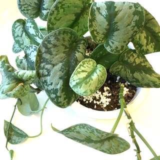 Plant - Satin Pothos Scindapsus Pictus Silvery Ann