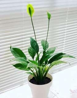 Spathiphyllum { Peace Lily plant } Indoor