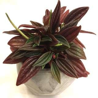 Plant - Peperomia Rosso