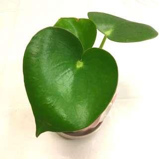 Plant - Peperomia Polybotrya Pilea Raindrop
