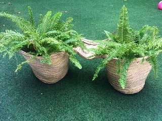 🚚 Rattan double basket with ferns