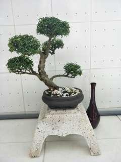 """Bonsai """"Shui Mei"""" 1 sold already, 4 left."""